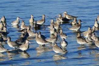 Bar Tailed Godwits