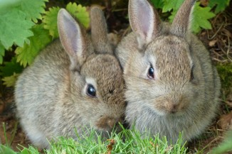 Wild Rabbits at Edinburgh Zoo